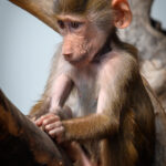 Abeunge / Little Monkey