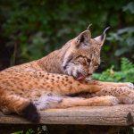 Los i Zagreb Zoo  / Lynx in Zagreb Zoo