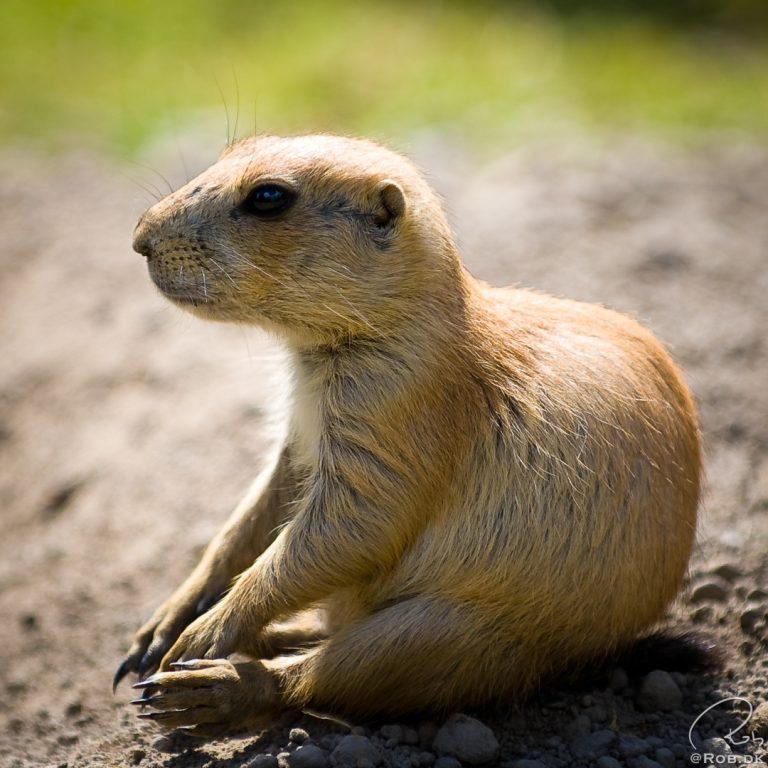 Præriehund / Prairie Dog