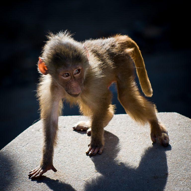 Abe / Ape