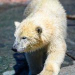 Isbjørneunge