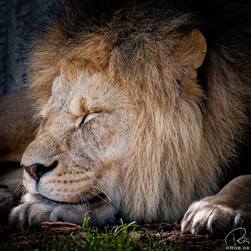 Løve i Zoo