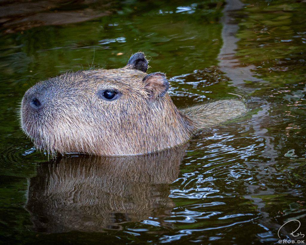 Kapivar - Flodsvin - Capybara4