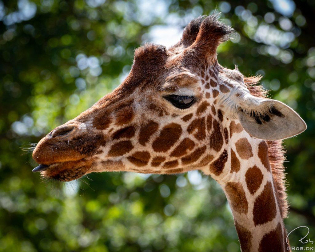 Giraf i København Zoo