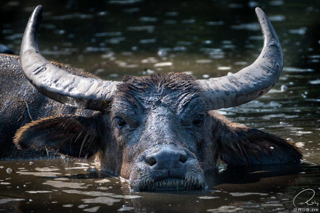 Asiatisk Vandbøffel