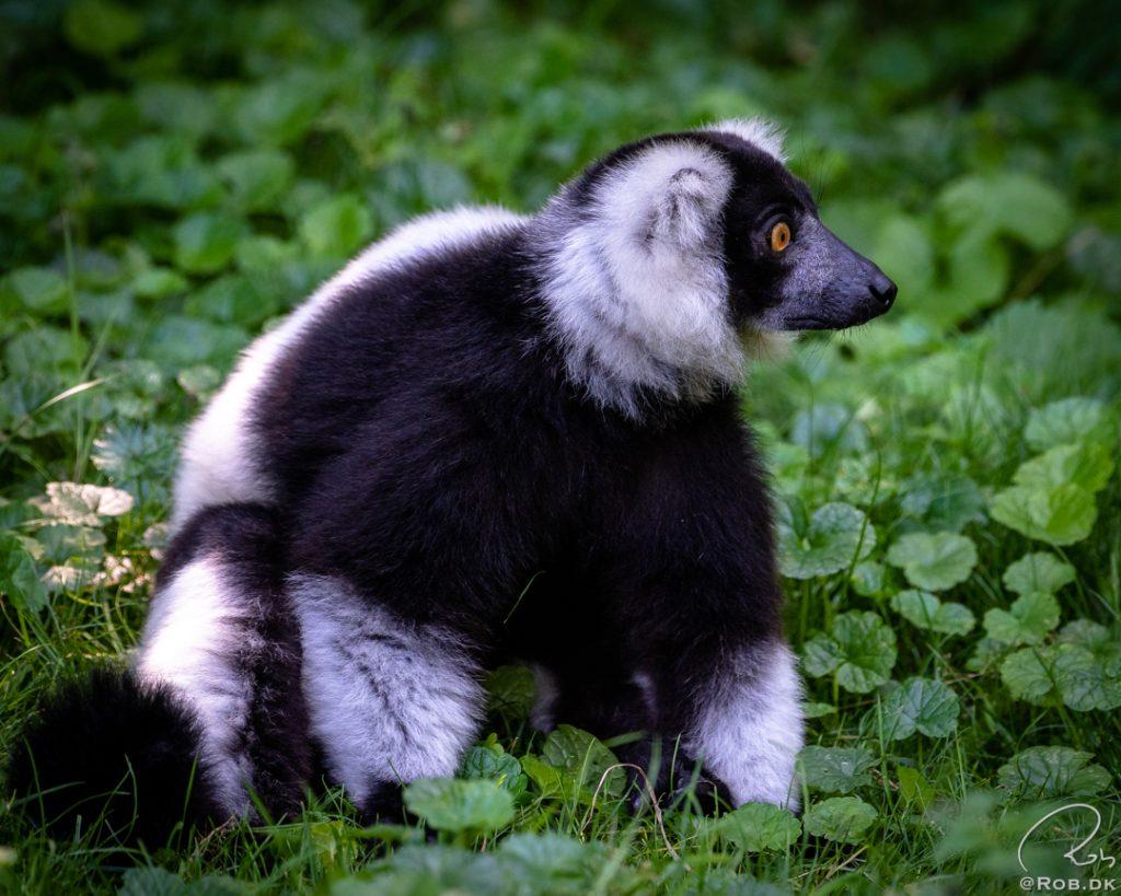Vari (lemur)